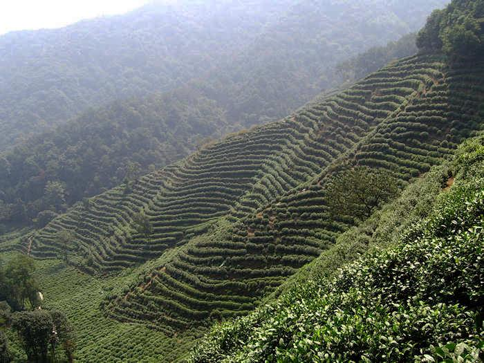 tea, plantation, Zhejiang